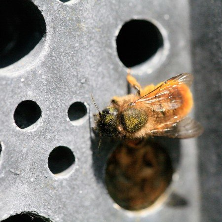 solitary bee on a charcoal bee brick by green and blue