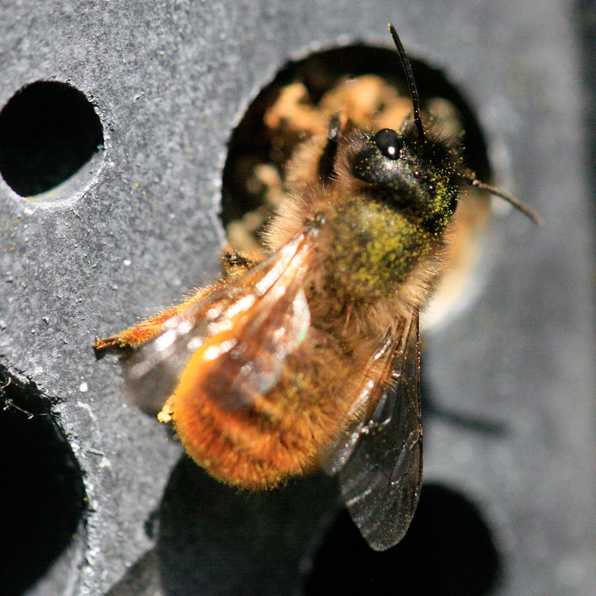 solitary bee on charcoal bees block