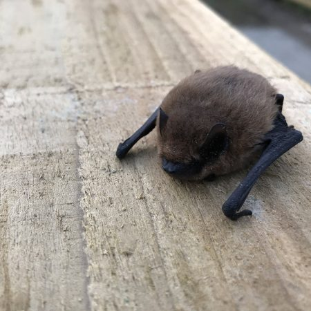common pipistrelle bat on wood